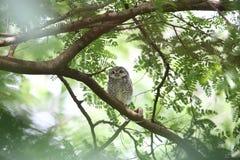 owlet dostrzegający Zdjęcie Stock