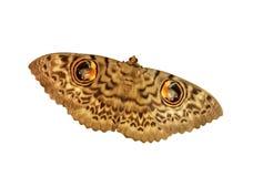 Owlet eye moth Royalty Free Stock Photo