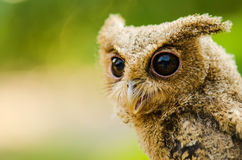 Owlet Stock Images