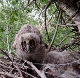 Owlet. Gray owl, or common owl Latin Strix aluco is a medium-sized bird of the family of owls. Distributed throughout much of Europe, as well as in Central royalty free stock photo