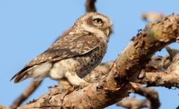 Owlet macchiato Fotografia Stock Libera da Diritti