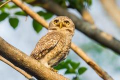 Owlet manchado Fotos de Stock Royalty Free