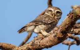 Owlet manchado Fotos de archivo libres de regalías