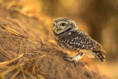Owlet manchado Fotos de Stock Royalty Free