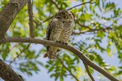 Owlet manchado Fotografía de archivo libre de regalías