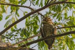 Owlet manchado Imagen de archivo libre de regalías