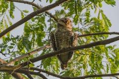 Owlet manchado Fotografía de archivo