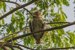 Owlet manchado Imágenes de archivo libres de regalías