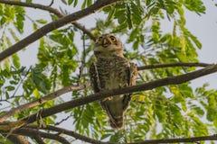 Owlet manchado Fotos de archivo