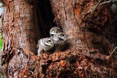 Owlet manchado imagens de stock