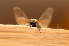 Owlet Moth in detail Stock Images