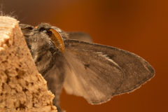 Owlet Moth in detail Royalty Free Stock Photography
