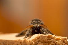 Owlet Moth in detail Royalty Free Stock Photos