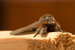 Owlet Moth in detail Stock Photography