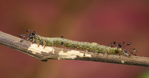 Owlet Moth Larva - Homodes Bracteigutta Stock Photos