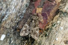 Owlet moth sitting on wood Stock Photo