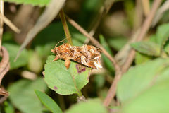 Owlet moth. Tropical moth sitting on a leaf stock images