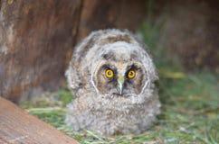 owlet Närbild arkivbild