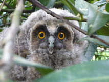 Owlet patrzeje przez gałąź Obraz Stock