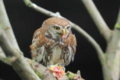 owlet Perle-repéré Image stock