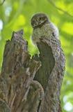 Owlet repéré photos stock
