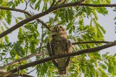 Owlet repéré Photo libre de droits