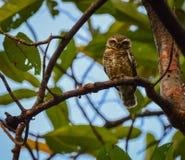 Owlet repéré photographie stock