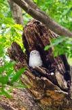 Owlet repéré en cavité d'un arbre Images stock