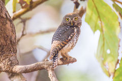 Owlet repéré Image stock