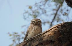Owlet Spotte на ветви дерева стоковые изображения rf