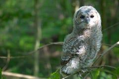 owlet tawny obraz royalty free