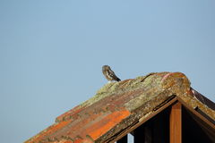 Owlet umieszczający na dachu Obrazy Royalty Free