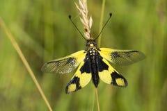 Owlfly Royaltyfria Bilder