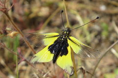 Owlfly, wings spread, resting on a small plant. Stock Images