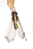 Owlfly auf einem Blatt Stockfotos