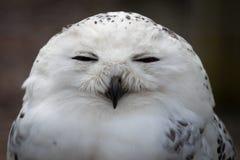owlprague snöig zoo Royaltyfri Bild