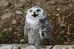 owlprague snöig zoo Royaltyfria Bilder