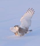 owlprague snöig zoo Arkivfoto
