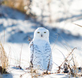 owlprague snöig zoo Arkivfoton