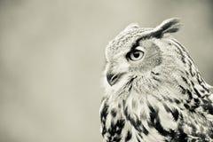 Owlprofil Arkivbild