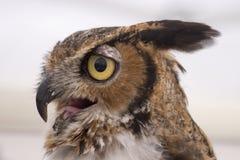 owlprofil Arkivbilder