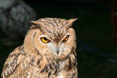 owlprortrait Royaltyfria Bilder