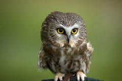 owlpygmy Fotografering för Bildbyråer