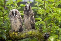 Owls Stock Photos