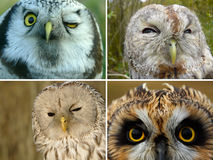Owls Royalty Free Stock Photography