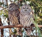 Owls. A pair of Owls stock photos