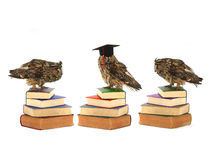 Owls. In academic cap on a white background Stock Photos