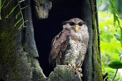 Owls are alone in the nest. The owl is alone in its nest waiting for the parentn Stock Image