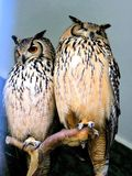 Owls. A beautiful pair of owls in the zoo Stock Images