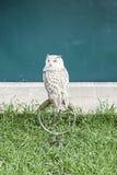 Owls in captivity Royalty Free Stock Photos